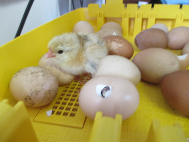 Our Chicks are Hatching